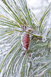 Seed Cone Encased in Ice Royalty Free Stock Photo