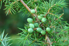 Seed cone of juniper royalty free stock photography