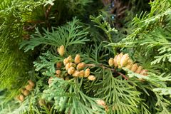 Seed cones of Thuja occidentalis. In september Stock Image