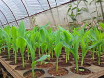 Seed corn. Cultivation mail template to Tray Royalty Free Stock Photo