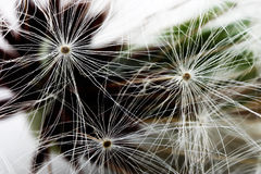 Seed of a dandelion. The ripened seed of a dandelion close up Stock Photography
