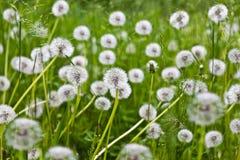 Seed  dandelion flower Stock Photo