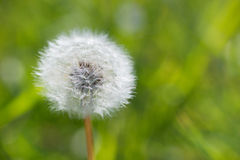 Seed of Dandelion Stock Photos