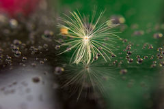 Seed of dandelion after rain - green and red Stock Image