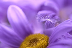 The seed of a dandelion with water drop on purple flower. Beautiful macro of an artistic image. The seed of a dandelion with water drop on purple flower Stock Images