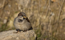 Seed Eater. A house sparrow is eating seeds on a piece of rock royalty free stock images