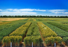 Seed fields. Seed rows. Stock Image