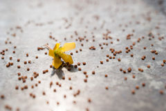 Seed and flower. Of mustard Royalty Free Stock Images