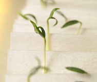 Seed germination. Pepper seed germination in the seed laboratory Stock Images