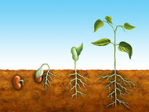 Seed germination stock illustration