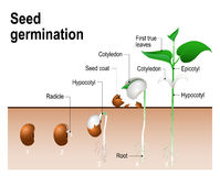 Seed germination. Early stages of growing of bean seed. The most common example of process of germination from a seed. Plant Development stock illustration
