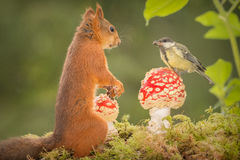 Seed gift. Titmouse standing on a mushroom with a red squirrel watching Stock Image