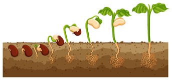 Seed growing into tree. Illustration stock illustration