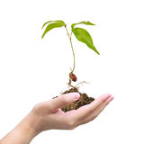 Seed on hand royalty free stock photography