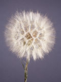 Seed head of arnica flower Stock Photography