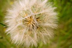 Seed head. Closeup of Sow thistle or Sonchus oleraceus  seed head Royalty Free Stock Photography