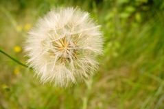 Seed head Stock Images