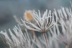 Seed head covered in frost Royalty Free Stock Photos