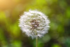 Seed head of dandelion on background of green grass royalty free stock images