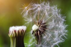 Seed head of dandelion on green grass background royalty free stock photo