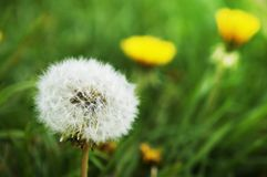 The seed head of Dandelion. A member of the sunflower family, the dandelion species is called Taraxacum officinale and is one of the most easily recognized weeds stock photo