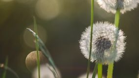 Seed head of dandelion in nature slightly moved by the wind, sunlight flares flickering in background, nice round bokeh. Close up stock video footage