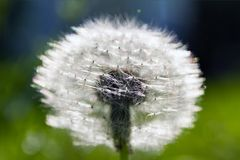 Seed head of dandelion royalty free stock photos