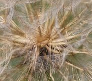 The seed head Royalty Free Stock Image