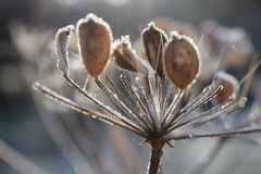 Seed head with frost Royalty Free Stock Photo