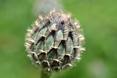 Seed head. Green and black seed head, winchester. Bristles protecting the outside Royalty Free Stock Images