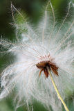 Seed head of a mountain avens Stock Photo