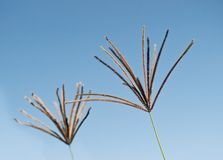 Seed Head Rhodes Grass Chloris gayana Stock Photos