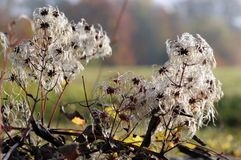 Seed heads of a clematis. Morning sun on hairy fruits of clematis Stock Photos