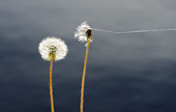 Seed heads of common dandelions Royalty Free Stock Images