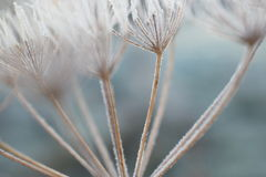 Seed heads covered in frost Royalty Free Stock Images