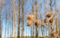 Seed heads of Greater Burdock or  Arctium lappa plants Stock Photo