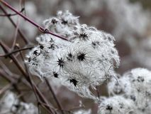 Seed heads with silky appendages of clematis vitalba or traveller`s joy in early spring stock photos