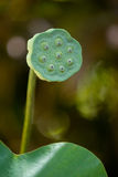 Seed lotus Royalty Free Stock Photo