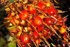 Seed Of Oil Palm Stock Photography