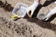 Spring works in a home garden, sowing sunflower seeds. stock images