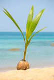 A seed of a palm tree (coconut) Royalty Free Stock Photo