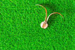Seed of para rubber tree on green grass texture background Stock Images