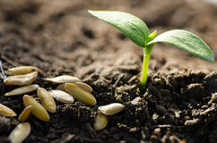 Seed and plant growing over green background Royalty Free Stock Images