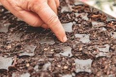 Seed Planter; Starter Seeds; Soil Starter. Person`s finger pushes seeds into healthy soil in a black tray for growing seeds into plants germination stock photo