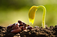 Seed for planting and germinating seed grow over back soil Royalty Free Stock Photo
