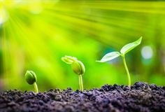Seed plants are growing. They are growing step by step.One has root and grow under the soil and the other seed has leaves.They are growing among sunlight.Photo stock image