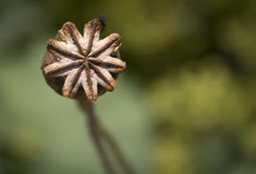 Seed pod Stock Photos