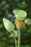 Seed Pod of Lotus Flower Stock Images