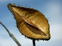 Seed pod and sky Royalty Free Stock Photo