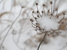 Seed Pod and Snow Stock Photo